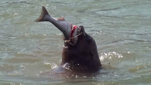 sealion_with_salmon_nwc