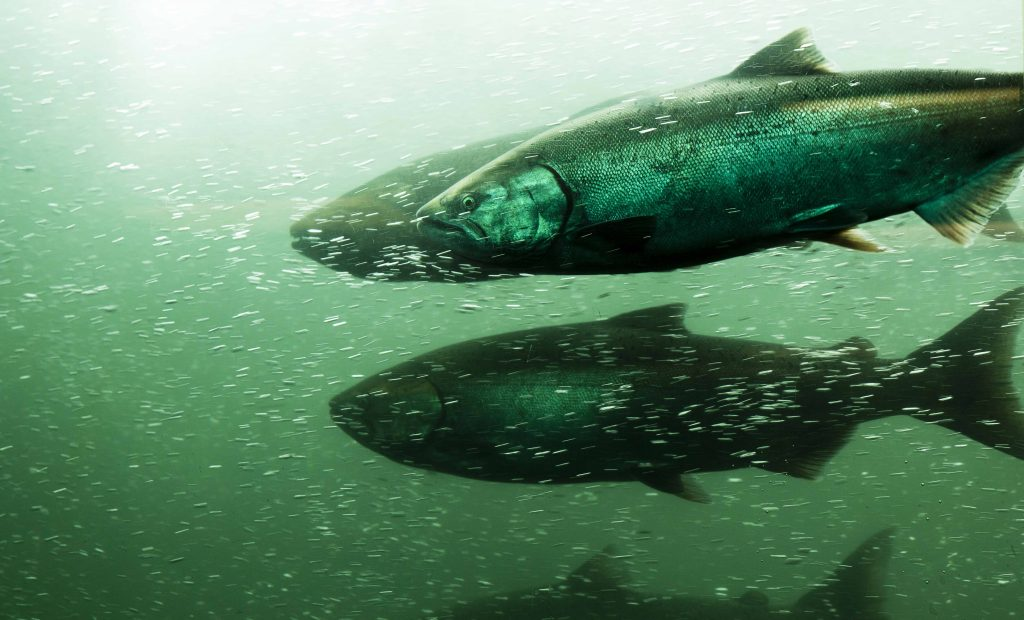 hydro salmon
